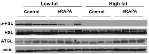Representative western blot of p-HSL, HSL, and ATGL in adipose tissue from mice fed indicated diets
