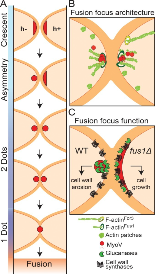 Model for the fusion focus multi-step formation, architecture, and function. (A) Schematic representation of the cell–cell fusion process in fission yeast. Type V myosins first assume a crescent localization, decorating the shmoo tip. Focalization is observed in the h− cell fist and then in the h+ cell. The distance between the two dots then reduces over time, indicating cell wall thinning, until the two structures merge into one and fusion occurs. (B) Illustration of the architecture of the fusion focus. The formin Fus1 nucleates short actin filaments, which are focalized with type V myosins near the plasma membrane. Focalization requires both Fus1 and type V myosins. Longer For3-nucleated cables are also polarized toward the shmoo tip. (C) Model of the function of the fusion focus. For comparison, the wild-type situation is compared with that in fus1Δ cells. In the wild type, glucanases are concentrated at the fusion focus, therefore segregating them from the location of cell wall synthases, which decorate the entire shmoo tip. This geometrical organization permits cell wall thinning and fusion. In absence of Fus1, the localizations of glucanases and cell wall synthases overlap over the shmoo tip, promoting cell growth.