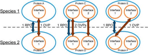 Illustrative examples of represented protein orthologies (RPOs) and orthologous vertex pairs (OVPs).In each of the subfigures, the two proteins are assumed to be orthologous between Species 1 and 2. The orange circles represent specific sites within each protein, depicted as blue ellipses in hypergraph form, and the dark orange arrows represent alignment of the two interfaces. Each pair of aligned interfaces between the two orthologous proteins is 1 OVP. However, regardless of the number of aligned interfaces between the two proteins, there can only be a maximum of 1 RPO, depicted as a dark blue arrow, indicating that the orthologous relationship between the proteins is represented in the alignment.