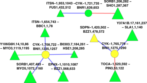 "A zoom-in of the ""optimal"" GreedyPlus alignment of worm and yeast SH3-mediated IINs, consisting of the three worm CYK1 vertices and all their neighbours.Domain interfaces are represented by triangular vertices, ligand interfaces by circular vertices. Yellow vertices are aligned and orthologous; green vertices and edges are aligned, red are unaligned from worm, blue are unaligned from yeast. Vertex size indicates score."