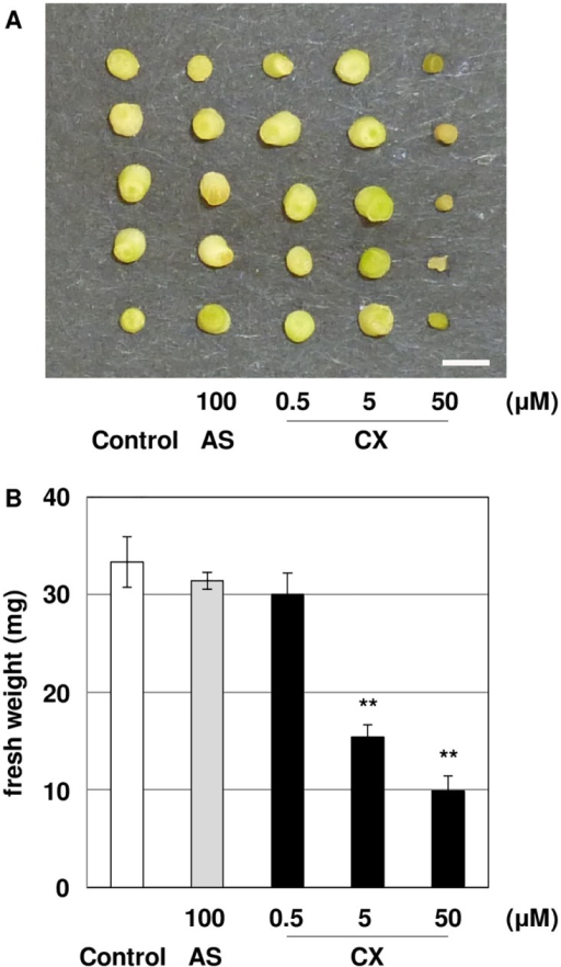 Growth inhibition of L. japonicus treated with CX.(A) Hypocotyl segments were incubated on co-cultivation medium containing different concentrations of CX for 5 days. (B) Fresh weight of hypocotyl segments treated with CX for 5 days. The segments were weighed in triplicate. The bars represent the mean ± SE of three replicates. Bar represents 1 cm. Asterisks indicate significant differences between the control and treated segments (**: P<0.01) by Student's t-test.