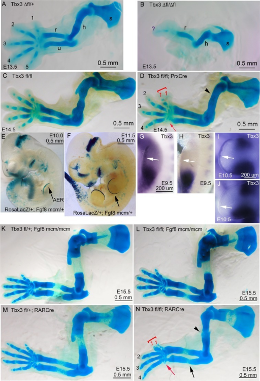Increased severity of limb phenotypes in Tbx3  mutants (Tbx3Δfl/Δfl) compared to Tbx3;PrxCre is independent of Tbx3 in the AER.(A–D) Skeleton preparations comparing control (A: Tbx3Δfl/+, C:Tbx3fl/fl), Tbx3Δfl/Δfl(B, ), Tbx3fl/fl and Tbx3fl/fl;PrxCre (D, conditional mutant) forelimbs. Note single digit, absent ulna, and shortened humerus in Tbx3Δfl/Δflmutant (B) compared to preaxial polysyndactyly and absent digit 5 in Tbx3;PrxCre mutants (D). s, scapula; h, humerus; r, radius; u, ulna; digits are numbered; red arrowhead highlights loss of digit 5. (E, F) X-gal stained E10.0 (E) and E11.5 (F) RosaLacZ/+;Fgf8mcm/+embryos after the administration of tamoxifen at E8.5; black arrow indicates staining indicative of previous Cre activity in the AER. (G–J) mRNA in situ for Tbx3 expression shows the absence of signal in the AER of Tbx3fl/fl;Fgf8mcm/mcmE9.5 and E10.5 mutants (H, J, respectively) compared to controls (G, I). White arrows point to AER in G–J; note persistent mesenchymal Tbx3 expression as expected. (K–N) Skeleton preparations comparing E15.5 control (K,M), and Tbx3 fl/fl;Fgf8mcm/mcm (L) and Tbx3fl/fl;RarCre (N) mutants. Forelimbs of Tbx3 fl/fl;Fgf8mcm/mcm mutants are normal (L), while defects in Tbx3fl/fl;RarCre (N) phenocopy those of Tbx3;PrxCre mutants (compare panel N to D and also to Figure 1, panel H).DOI:http://dx.doi.org/10.7554/eLife.07897.005