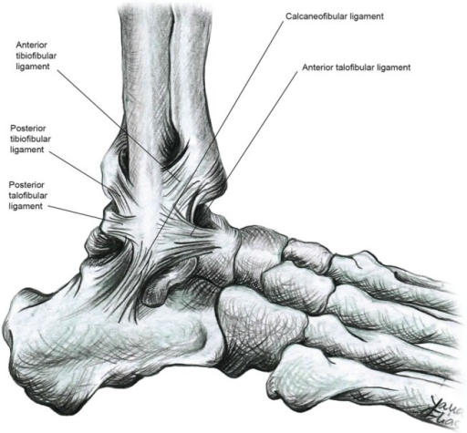 The Lateral Collateral Ligaments Of The Ankle Joint Th Open I