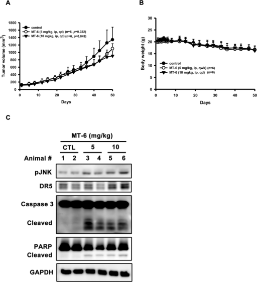 MT-6 inhibits tumor growth in SKOV3 xenografted mice.(A) MT-6 reduces tumor volume in an SKOV3 xenograft model. (B) MT-6 treatment did not cause significant loss of body weight in tested animals. Mice bearing established SKOV3 tumors (~100 mm3) were injected intraperitoneally with 5 or 10 mg/kg/d of MT-6 for 50 days, and tumor volumes were measured as described in Materials and Methods (n = 6 mice/group; *P < 0.05 compared with vehicle control). (C) Effects of MT-6 on intratumoral biomarkers in SKOV3 xenograft model. Tumors were harvested at terminal sacrifice and intratumoral proteins of two representatives from each group were collected and subjected to Western blot analysis.