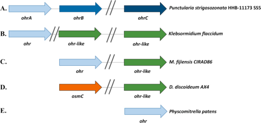 Genomic arrangements of genes of the Ohr/OsmC family present in eukaryotes.