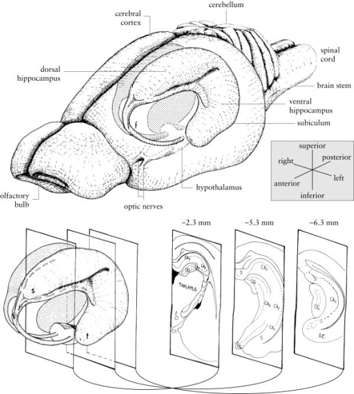 Diagram of the rat hippocampus. Drawings of the rat bra | Open-i