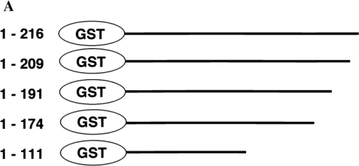 Mapping of the ARAN1 binding domain in the Ran  molecule. (A) Schematic presentation of Ran and a series of  truncated forms of Ran, which were expressed in E. coli as recombinant GST fusion proteins. Numbers at left, amino acid positions of the Ran sequence. A full length of human Ran consists  of 216 amino acid residues. (B) Immunoblotting analysis of full  and mutant Ran proteins using ARAN1 and rabbit anti-GST  polyclonal antibodies. E. coli was harvested after 6 h of induction  with IPTG and lysed in SDS-PAGE sample buffer. Samples were  electrophoresed on 12.5% polyacrylamide gels, transferred to nitrocellulose, and then probed with the ARAN1 and anti-GST  polyclonal antibodies. Right, a loading control stained with Coomassie brilliant blue.