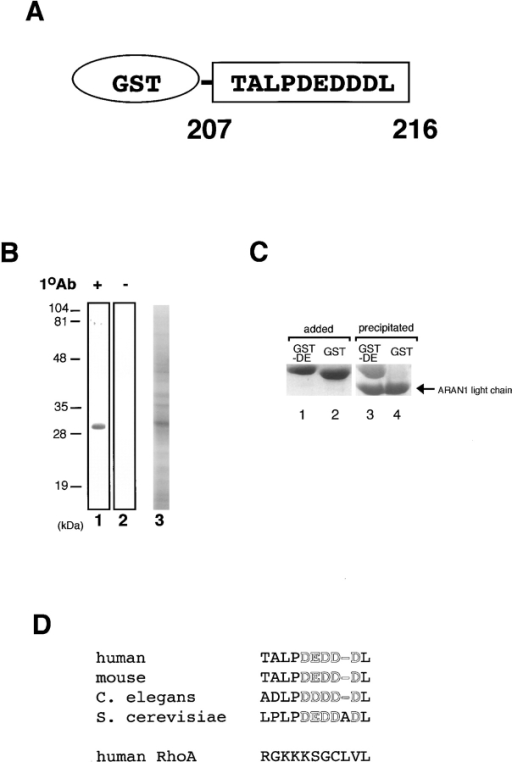 ARAN1 recognizes an epitope located within 10 amino  acid residues of the COOH terminus of Ran. (A) Schematic  drawing of the recombinant fusion protein of the COOH-terminal tail fragment of Ran expressed in E. coli. (B) Immunoblotting  analysis of the E. coli extract which expresses the GST fused Ran  COOH-terminal tail, 207–216 with ARAN1 (lane 1). Lane 2  shows negative control without ARAN1. The right panel shows  an SDS-PAGE profile of E. coli extract expressing GST-fused  COOH-terminal tail fragment of Ran, applied in the same  amount as was used for immunoblotting. (C) Recombinant GST-fused COOH-terminal portion (207–216) of Ran (lane 1) or GST  (lane 2) is incubated with ARAN1 and protein A–bound agarose  beads for 1 h. The beads were then washed and the bound  proteins were analyzed by SDS-PAGE followed by Coomassie  brilliant blue staining. (D) Amino acid comparison of the COOH- terminal domain of Ran in human, mouse, C. elegans and S. cerevisiae. The COOH-terminal domain of human RhoA is also  shown. Negatively charged residues are shown in boldface.