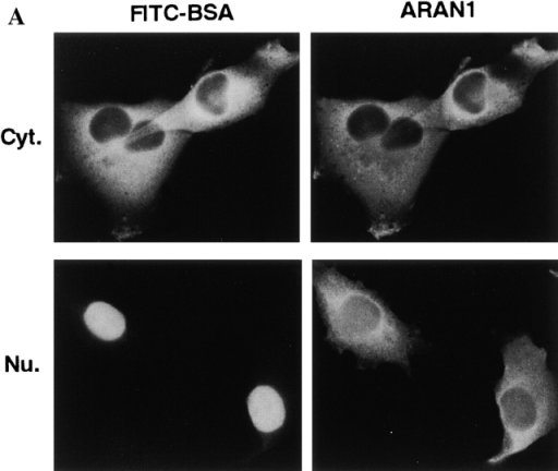 ARAN1 is exported from the nucleus to the cytoplasm.  ARAN1 (5 mg/ml) was injected into the cytoplasm (top) or nucleus (bottom) of BHK21 cells with FITC-BSA. After incubation  at 37°C for 30 min, cells were fixed and stained with Cy3-conjugated goat anti–mouse IgG antibodies (right). The localization of  FITC-BSA shows the injected site in the cells. (B) ARAN1 recognizes the Ran–importin β complex in Ehrlich ascites tumor cell  cytosolic extract. ARAN1 was added (lanes 1 and 3) or not (lanes  2 and 4) into the cytosolic extract and incubated for 1 h in the  presence of Q69L Ran-GTP. The proteins which were bound to  ARAN1 were precipitated with protein A–agarose beads and analyzed by immunoblotting with rabbit anti-Ran polyclonal antibodies (lanes 1 and 2), rabbit anti–importin β polyclonal antibodies (lanes 3 and 4), mouse anti-transportin monoclonal antibody,  and mouse anti-CAS monoclonal antibody (lanes 5 and 6, respectively).