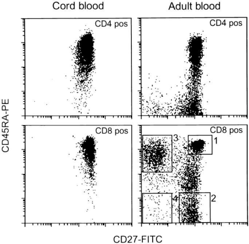 Triple color immunofluorescence analysis of cord blood  lymphocytes and PBMCs from an adult donor. Cells were simultaneously  stained with either CD4-PerCP or PerCP-labeled CD8 in combination  with PE-conjugated CD45RA and FITC-conjugated CD27 mAbs. Cells  were gated on forward scatter/side scatter and PerCP-fluorescence. Four  distinct populations can be defined within CD8+ cells from adult blood:  (1) CD45RA+CD27+ cells, (2) CD45RA−CD27+ cells, (3) CD45RA+  CD27− cells, and (4) CD45RA−CD27− cells. Note that there is also a  transitional population with dull CD45RA expression. As in the CD4+  subset (23), these cells have an intermediate phenotype for the studied surface  markers (data not shown). Functionally, this subset was not analyzed.