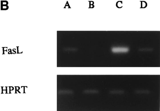 (A) CD8+ T cell  subsets differ in Fas expression.  (B) Fas ligand (FasL) and HPRT  (hypoxanthine-guanine phosphoribosyltransferase) mRNA expression in sorted CD8+ T cell  subsets as assessed by RT-PCR.  Lane A, CD8 total; lane B,  CD8+ CD45RA+CD27+; lane C,  CD8+ CD45RA+CD27−; lane  D, CD8+ CD45RA−CD27+.