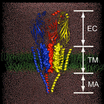 Schematic Representation of the Simulation System Constructed on the Basis of the Cryo-EM Structure of nAChR at 4 Å ResolutionnAChR is embedded in a DPPC lipid bilayer (green) and water molecules (red). Only three subunits (color-coded in red, blue, and yellow) are displayed for clarity. The M2 helices are rendered with electrostatic potential surface to highlight the pore shape.