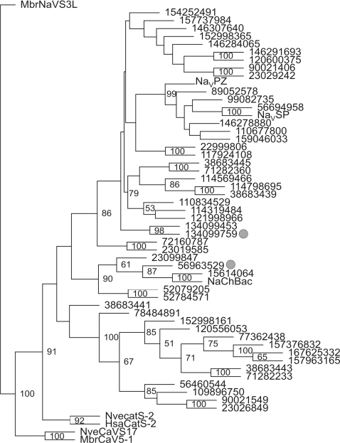 Phylogenetic tree of the 6-TMS bacterial ion channel family.A bootstrapped maximum parsimony tree was constructed with a NaV channel homologue in choanoflagellates (MbrNaV-S3L) as an outgroup. Two CatSper sequences, NveCatSper2 and HsaCatSper2, and two putative CaV channel homologues, MbrCaVS5-1 and NveCaV-S17, are also included. The position of the key aspartate residue in the pore region of two bacterial proteins is marked by gray circles. Bootstrap values of >50 are shown at corresponding branches. Each branch of the tree is labeled with the GI numbers in the NCBI protein database for most organisms. NaChBac, NaVSP and NaVPZ channels were functionally characterized previously [36], [61]. Abbreviations: Hsa, H. sapiens; Mbr, M. brevicollis; Nve, N. vectensis.