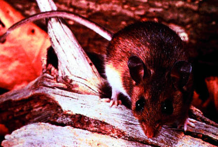 The Host for HantavirusThe deer mouse (P. maniculatus) is the reservoir host for the Sin Nombre hantavirus, the cause of hantavirus pulmonary syndrome. (Picture courtesy of the CDC and the Partnership, Inc.)