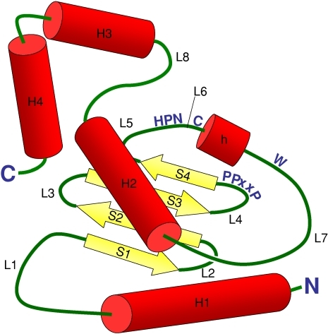 "Explanative structure showing in their 3D context the different residues mentioned in Fig. 6. Loops are labeled L1 to L8; β-strands are labeled S1 to S4; and helices are labeled H1 to H4 (with ""h"" for the generally conserved 3/10 helix). (Adapted from 3D structure of UBE2D2, PDB source E2SK, and legended from Winn et al. 2004)"