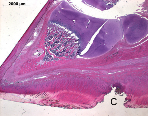 Histological section of a piglet's claw (toe to the left) with focal pododermatitis (C) of the heel.