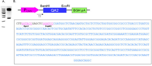 Construction of a Qa-2 expression vector. A. pcDNA3.1-Qa-2 was constructed by insertion of the full length mouse Qa-2 gene into the EcoR1 and BamH1 restriction site (expected size: 1.36 kb + 5.43 kb). The inserted Qa-2 gene was confirmed by digestion with EcoRI and BamHI. B. Vector inserted Qa-2 was sequenced using T7 promoter.