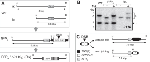 An experimental system to study end-joining. (A) The schematic maps illustrate the Tb11.02.2110 alleles in wild-type (WT), RsPa and RΔ strains. The meganuclease cleavage site is embedded within a dsRed Fluorescent Protein (RFP)–Puromycin ACetyltransferase (PAC) fusion gene. B, Bsp120I; H, HindIII; X, XcmI. (B). The RΔ strain was validated by Southern blotting with WT and RsPa controls. The RΔ and RsPa strains were grown in the absence or presence of tetracycline (1 µg ml−1) for 1 week. Genomic DNA was digested with Bsp120I and HindIII. Bands representing the 2110 alleles are indicated to the right. In the RsPa strain, allelic HR regenerates the 6 kb allele while, in the RΔ strain, ectopic HR and end joining generate allele a fragments at 7.9 and 5.2 kbp, respectively; see fragment sizes in (A) and (C). (C) The schematic maps illustrate the result of ectopic HR and end joining expected to predominate in RsPa/Δ2110b survivors. The TUB sequences flanking the RsP cassette promote RsP pre-mRNA trans-splicing and polyadenylation and also allow ectopic HR which replaces RsP with an αTUB gene copied from chromosome 1.