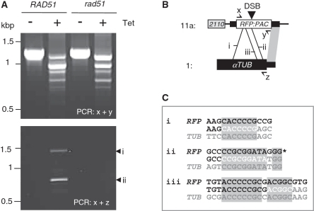 One-sided MMEJ-based gene conversion is RAD51 dependent. (A) PCR assays indicate a similar pattern of MMEJ-based deletion in RAD51 and rad51  strains (upper panel) while one-sided MMEJ-based gene conversion is ablated in rad51  strains (lower panel). The locations of the primers are indicated in B. (B) The schematic map illustrates three ectopic one-sided MMEJ events. (i) and (ii) are from Figure 6A and (iii) is from (6); other details as in Figure 5A. (C) The three one-sided ectopic MMEJ junction sequences are shown; other details as in Figure 4A.