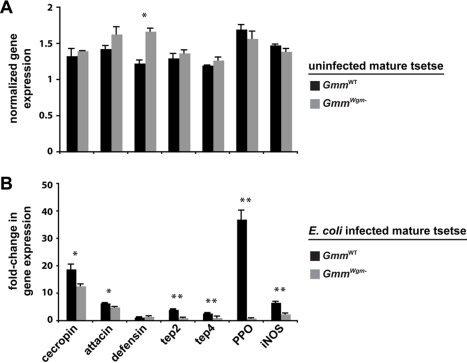 The effect of symbiont status on the expression of immunity-related genesin adult tsetse.(A) Target gene expression in uninfected GmmWT andGmmWgm− adults is indicatedrelative to the constitutively expressed tsetse β-tubulin gene. (B)Fold-change in the expression of immunity-related genes inGmmWT andGmmWgm− tsetse 3 dpi withE. coli K12. All values for both tsetse strains arerepresented as a fraction of average normalized gene expression levels inbacteria-infected flies relative to expression levels in PBS-injected controls.In (A) and (B), quantitative measurements were performed on three biologicalsamples in duplicate. Values are represented as means (±SEM). *p<0.05, ** p<0.005(Student's t-test).