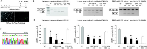 Myostatin exon 2 skip in several myotubes cultures. Human primary control (KM109) and DMD patient derived- (DL589.2) myoblasts were differentiated for 7 days before transfection with MSTN AON. Immortalized control (7304.1) myoblasts were differentiated for 2-3 days. A non-targeting, fluorescently-labeled AONs were transfected as control. Fluorescent nuclei were observed three hours post-transfection (A). RNA was isolated 2 days post-transfection. cDNA was synthesized using random hexamer (N6) primers and subjected for PCR using primers in exon 1 and 3 (B). Note the inverse dose-dependent skips in KM109 samples. Skip fragment was confirmed by sequencing analysis (C). Quantitative real-time PCR was performed using primers in MSTN exon 1 and 2, thereby depicting the expression of remaining full length or non-skipped transcript (D). Data are means ± SD from 3 to 4 independent experiments. Expression was normalized with GAPDH. Statistical analysis was performed using Student's t-test, using the 500 nM control AON-transfected samples as reference. *P < 0.05