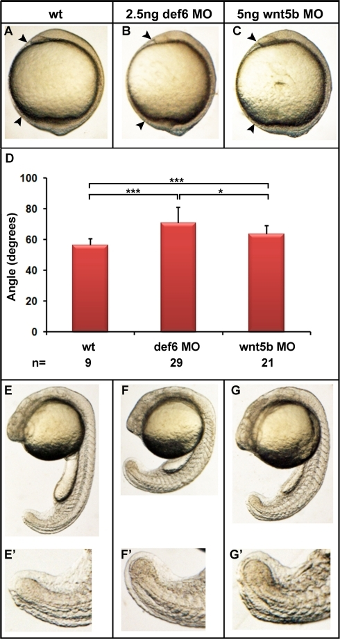 Def6 MO induced-defects resemble those of wnt5b morphants.Embryos were injected with def6 MO (2.5 ng) or wnt5b MO (5 ng) and development was assessed at different stages. (A–C) 1-somite stage, arrowheads indicate the anterior- and posterior-most structures of the embryos. (D) Statistical analysis of the angle between the anterior- and posterior- most embryonic structures. (E–G) 25-somite stage, def6 and wnt5b MO-injected embryos show brain, somite and tail defects when compared to wt embryos. The tail abnormalities are magnified on E'–G''.