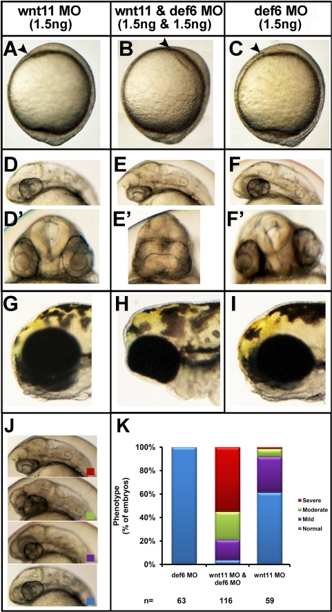 Synergy between def6 and wnt11 MO-mediated knockdown results in severe phenotype.Zebrafish embryos were injected with wnt11 MO (1.5 ng) and def6 MO (1.5 ng) separately and together. Development was assessed at different stages. (A–C) Tail-bud stage (10 hpf), the anterior-most structure is indicated with an arrowhead. (D–F) 28 hpf, co-injection with def6 and wnt11 MOs results in no forebrain structures anterior to the eyes (D'–F') the same embryos are shown from the front; note complete fusion of the eyes in the double-knockdown embryos. (G–I) 3 dpf, double knockdown embryos have their eyes completely fused in comparison to def6 or wnt11 MO-injected embryos. (J) The phenotypes of 28 hpf embryos were scored morphologically into 4 categories. Representative embryos of normal (blue box), mild (purple box), moderate (green box) and severely affected (red box) morphants are shown. (K) The phenotypes of the embryos from three independent experiments were scored and the percentages of normal (blue bar), mild (purple bar), moderate (green bar) and severe (red bar) are indicated.
