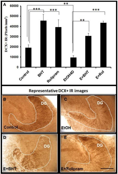 Rolipram and anti-oxidant BHT protect from ethanol-impaired neurogenesis. Shown in bar graph (A): PDE IV inhibitor rolipram and anti-oxidant BHT increase DCR+ IR and reverse ethanol inhibition of DCX+ IR. ANOVA F(5, 32) = 11.552, p < 0.001, and Fisher post hoc: ***p < 0.001 or **p < 0.01 compared with Control or EtOH4D, n = 6–8. The experiments were repeated with similar results. Representative photographs of DCX+ IR are shown in (B) (control); (C) (EtOH); (D) (Ethanol + BHT, 50 mM, pretreatment for 3 days); and (E) (Ethanol + Rolipram, 500 nM, pretreatment for 3 days; scale bar = 200 μm).