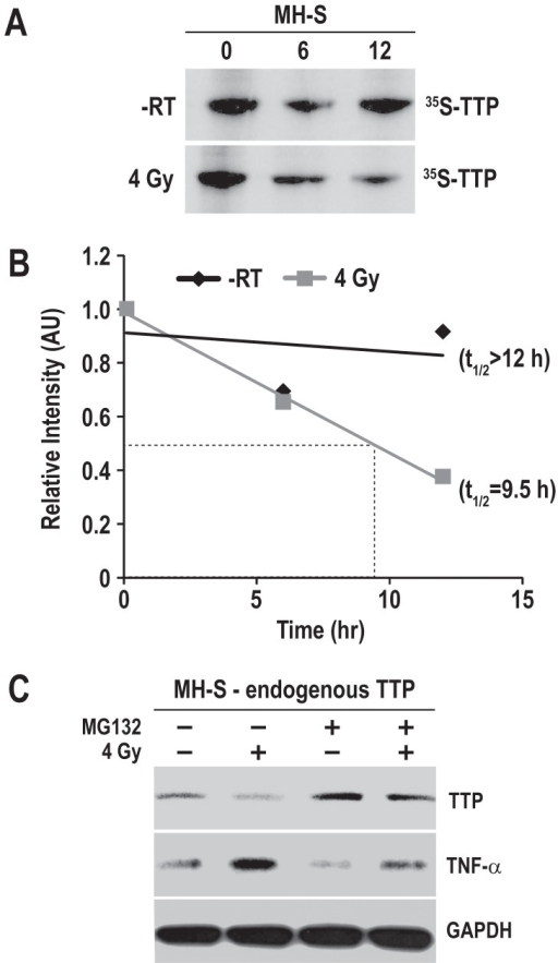 Radiation-induced TTP degradation and TNF-α secretion is inhibited significantly by the proteasome inhibitor MG132.(A) MH-S cells were metabolically labeled with 35S-methionine, were either sham-irradiated or irradiated with 4 Gy, and chased with cold methionine for indicated time periods. After the chase period cell lysates were subjected to immunoprecipitation using TTP antibody, immunocomplexes were resolved by SDS-PAGE and autoradiography. (B) TTP protein's half life in sham-irradiated (-RT) and irradiated (4 Gy) groups were determined by densitometric scanning of the autoradiographs followed by quantitation using Image J1.32j software (NIH, Bethesda, MD). Relative protein levels were determined in comparison to sample isolated immediately after the pulse labeling (0 h chase). (C) MH-S cells were either sham-irradiated or radiated with 4 Gy, and 44 h after radiation 2 µM of MG132 was added. Cell lysates were collected 4 h after MG132 addition and immunoblotted for TTP and TNF-α. GAPDH was used as loading control.