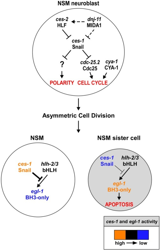 ces-1 Snail represents a functional link between cell cycle progression, cell polarity and apoptosis in the NSM lineage.Genetic model of ces-1 Snail functions in the NSM neuroblast (top), the NSM and the NSM sister cell (bottom). In the NSM neuroblast, ces-1 function is negatively regulated by the genes dnj-11 MIDA1 and ces-2 bZIP. ces-1 affects cell cycle progression in the NSM neuroblast by negatively regulating cdc-25.2 Cdc25. ces-1 also affects the polarity of the NSM neuroblast. However, to date, it is unclear through what mechanism. After the asymmetric division of the NSM neuroblast, the level of ces-1 activity is high in the larger NSM (left) and low in the smaller NSM sister cell (right). The activity of ces-1 in the NSM is sufficient to block the function of hlh-2/3 bHLH, thereby resulting in a level of egl-1 BH3-only activity that is too low to induce apoptosis. Conversely, in the NSM sister cell, the activity of ces-1 is not sufficient to block the function of hlh-2/3, thereby resulting in a level of egl-1 activity that is high enough to induce apoptosis. See text for details and molecular interpretations.