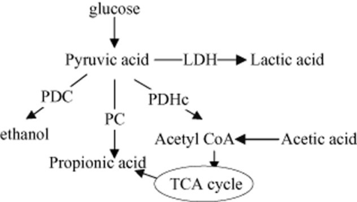 Key enzymes related to lactic acid synthesis pathway.