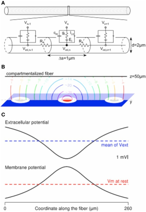 Computing the mirror response of a uniform passive fiber to an extracellular potential field in the Neuron environment. (A) A 260-μm-long uniform fiber is modeled in the Neuron environment by a set of electrical compartments linked in series through the intracellular resistance Ra. Each (1-μm-long) compartment is modeled by a capacitance (cm) in parallel with a membrane conductance (gl, in series with a voltage source equal to the leakage potential El), in parallel with ion-specific active currents Ii,n. The latter are set to 0 in the current passive model. (B) Contour plot of the extracellular potential field in the y–z plane containing the compartmentalized fiber (oriented along the y axis, at z = 50 μm). Values are given in mV, for a cathodic current of −1 μA delivered by the stimulation electrode (in red) and returning through the ground surface (in blue). (C) The extracellular potential is plotted at the locations of the fiber compartments, together with the membrane response at the end of a cathodic 1-ms-long stimulation.