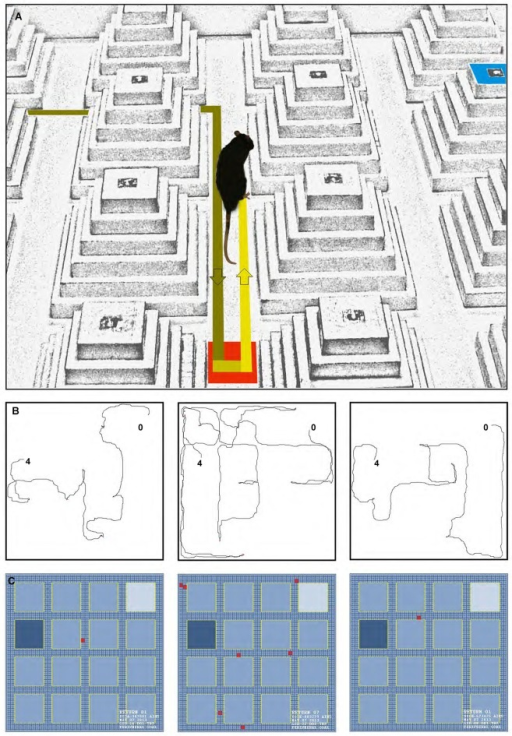 (A) A photograph of a return that can typically occur during the spatial navigation in the ziggurat task. (B, left to right) Path trajectories recorded on Trial seven on the learning day by a control, dHPC, and vHPC rat from starting point (0) to the peripheral goal ziggurat (4). Note the increased number of returns taken by the dHPC rat (middle sub-panel) during the goal-directed navigation in the ZT. (C) A motiongraph of the number of returns taken by the same rats. Light and dark blue squares represent start and goal ziggurats, respectively and red squares indicate the number of returns calculated by the software (SINA motiongraph, V.II, 2011).