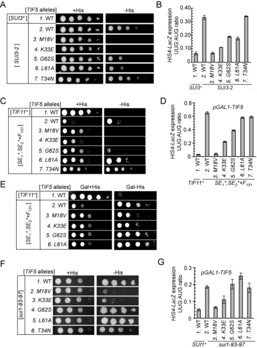 TIF5 suppressors confer allele-specific suppression of Sui− mutations in eIF2β, eIF1A and eIF1. (A) Slg− and His+/Sui− phenotypes of derivatives of his4-301 strain ASY100 harboring the indicated TIF5 alleles on LEU2 plasmid and either YCpSUI3-2 plasmid harboring SUI3-2 (rows 2–7) or empty vector (row 1) were determined by spotting serial 10-fold dilutions on SC medium lacking leucine and tryptophan (SC-LW) supplemented with 0.3 mM His (+His) or 0.0003 mM His (−His) and incubated for 3d (−His) or 6d (+His) at 30°C. (B) Strains described in (A) harboring the AUG or UUG HIS4-lacZ reporters were analyzed as in Figure 2C. (C) Derivatives of his4-301 tif11Δ PGAL-TIF5 strain PMY17 harboring a TRP1 plasmid with WT TIF11 (pAS5-142) (lane 1) or tif11-SE1*,SE2*+F131 (pAS5-130) (Lanes 2–7) were transformed with LEU2 plasmids containing the indicated TIF5 alleles, and Slg− and His+/Sui− phenotypes were determined as in (A). (D) Strains described in (C) harboring the AUG or UUG HIS4-lacZ reporters were analyzed as in (B). (E) Dominant His−/Ssu− and Slg+ phenotypes of the strains in (C) were analyzed by spotting serial 10-fold dilutions on SC medium containing galactose and lacking tryptophan and leucine supplemented with 0.3 mM His (Gal + His) or 0.0003 mM His (Gal −His) and incubating for 3d (Gal + His) or 6d (Gal − His) at 30°C. (F) Slg− and His+/Sui− phenotypes were determined for derivatives of his4-301 sui1Δ PGAL-TIF5 strain PMY01 harboring sui1-93-97 on a TRP1 plasmid and LEU2 plasmids containing the indicated TIF5 alleles were determined as in (C). (G) Strains described in (F) harboring the AUG or UUG HIS4-lacZ reporters were analyzed as described in (D). For panels A, C and F, images have been cropped from results obtained from different plates examined in parallel in the same experiments.