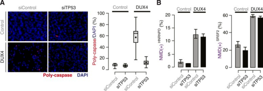 DUX4-induced NMD inhibition is not a side effect of DUX4toxicity.(A) Poly-caspase activity (red) following transfection with acontrol siRNA or siRNA against TP53 40 hr after lentiviralinfection. Box plot, percentage of nuclei with poly-caspase granules(estimated by ImageJ; n = 8 fields). Whiskers, max and min over thefields. (B) Isoform ratios of endogenously producedNMD-degraded isoforms of HNRNPD and SRSF2.Error bars, standard deviation.DOI:http://dx.doi.org/10.7554/eLife.04996.004