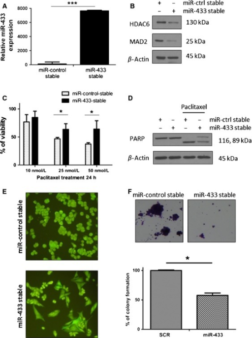 Stable expression of miR-433 in A2780 cells attenuates cellular apoptosis and results in a distinct morphological and proliferative change. (A) Quantitative real-time PCR (qRT-PCR) values for miR-433 in the miR-433-stable A2780 cells compared to miR-433-stable cells showing a significant (P < 0.05) fold increase in miR-433 levels. (B) Western blot analysis showing downregulation of two miR-433 targets, MAD2 and HDAC6 in the A2780 miR-433-stable expressing cell line. (C) Histogram representation of the response of the stable miR-433 versus control-miR cell lines post 24 h paclitaxel (10, 25, 50 nmol/L) treatment. Student's t-test was used for the comparison of means and demonstrates an increased resistance of the miR-433-stable cell line compared to controls at 25 and 50 nmol/L paclitaxel (P < 0.05). (D) Western blot analysis of poly (ADP-ribose) polymerase (PARP) cleavage in the miR-433-stable and miR-control-stable cell line treated with 50 nmol/L paclitaxel for 24 h demonstrating a decreased PARP cleavage in the miR-433-stable expressing A2780 cells. (E) Increased miR-433 expression influences the cellular morphology of A2780 cells appreciated by green fluorescent protein (GFP) expression with a resultant flattened and enlarged cellular morphology. Magnification 20×. (F) Colony forming assay of miR-control and miR-433 stable tranfected A2780 cells stained with crystal violet (magnification 4×) demonstrating a significantly lower colony formation ability in the miR-433 stable transfectants. Error bars represent SEM. *P < 0.05, ***P < 0.001.
