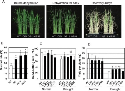 Drought resistance assay of OsGRAS23-overexpressing transgenic rice. a Three-week-old transgenic rice plants and WT plants grown in the 96-well plates and cultivated with culture solution, and exposed to dehydration stress for one day before being transferred to the culture solution. b Survival rate of WT and transgenic lines after dehydration stress. The data represent the mean ± SD (n = 3),*P ≤ 0.05. c, d Seed setting rate and yield of transgenic rice plants under drought stress at the reproductive stage. The data represent the mean ± SD (n = 8),*P ≤ 0.05, ** P ≤ 0.01, t-test