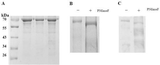 N-Linked glycosylation status of purified DENV-2 was analyzed by SDS-PAGE and WB after PNGase F treatment.(A) Purified virus was observed by SDS-PAGE. (B) Purified virus was digested with PNGaseF (+) or mock digested (-) and evaluated by SDS-PAGE. (C) Western blotting was performed to show the deglycosylation patterns of envelope proteins of DENV-2 virions using anti-DENV-2 hyperimmune serum.