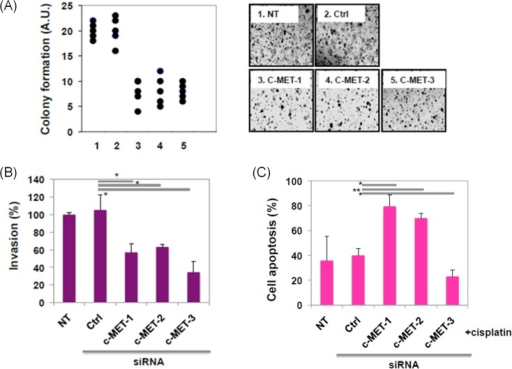 Loss of c-MET reduced anchorage-independent proliferation (A) and invasion (B) of T24 bladder cancer cells with an increased cisplatin-induced cell apoptosis (C).All experiments were performed using three c-MET knockdown cell lines (sic-MET-1, sic-MET-2, and sic-MET-3) transfected with different METsiRNAs, and two controls cell lines (Ctrl and NT). Ctrl, control; NT, non-transfected.*p<0.05.
