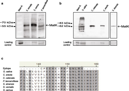 Immunoblot detection of MatK from orchid species. Orchid protein was resolved by SDS-PAGE and transferred to nitrocellulose membrane. MatK protein was detected using anti-MatK antibody as described in Barthet and Hilu [12]. Orchid species analysed represent two different subfamilies of Orchidaceae (Orchidoideae: Spiranthes vernalis, S. cernua, S. sinensis, Caladenia catenata and Cryptostylis erecta and Epidendroideae: Phaius tancarvilleae) and are representative of orchids that require the alternative initiation codon for full-length MatK translation (Figure 2A and B). All immunoblots were repeated twice to verify results. (a) Immunoblot detection of MatK from 50 μg of total protein from Spiranthes vernalis, S. cernua and Phaius tancarvilleae. N = 3 biological replicates. Mass standard = PageRuler Prestained Protein Ladder (Thermo Scientific). Ponceau S stain of RbcS shown as loading control. (b) Immunoblot detection of MatK from 75 μg of total protein from Caladenia catenata, Cryptostylis erecta and Spiranthes sinensis. N = 1 biological replicate due to tissue limitations. Oryza sativa (rice) was used as a control for detection. Mass standard = 6–185 kDa Protein Ladder (NEB). Ponceau S stain of RbcS shown as loading control. All immunoblots were repeated twice to verify results. (c) Alignment of MatK peptide region used for antibody generation to orchid species examined in this study
