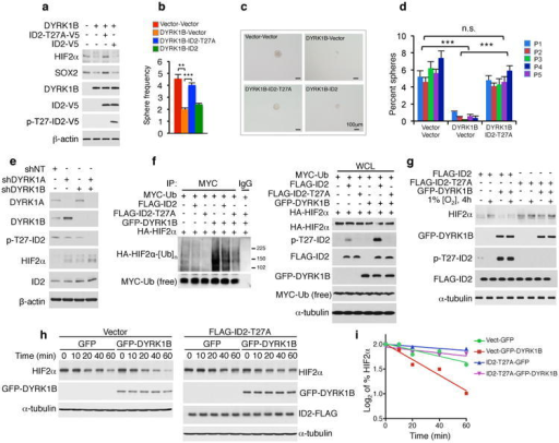 The DYRK1-ID2-T27 pathway controls GSCs and HIF2αa, Phosphorylation of ID2 but not ID2-T27A by GFP-DYRK1B down-regulates glioma stem cells markers in GSC#31. b, In vitro LDA of parallel cultures shows that decreased frequency of gliomaspheres by DYRK1B is rescued by ID2-T27A. Data are means of 3 biological replicates ± s.d.; **: p = 0.0031 (vector versus DYRK1B); ***: p = 0.00022 (DYRK1B versus DYRK1B plus ID2-T27A). c, Microphotographs of representative cultures in b. d, Serial clonal experiments of cells in b. Data are means of 3 biological replicates ± s.d. of percent gliomaspheres; ***: p=0.00059-0.00007 for vector versus DYRK1B plus vector; ***: p=0.0089-0.0008 for ID2-T27A plus DYRK1B versus DYRK1B plus vector; n.s.: p=0.061-0.249 for ID2-T27A plus DYRK1B versus vector. e, Silencing of DYRK1 down-regulates pT27-ID2 and increases HIF2α in U87 cells. f, Ubiquitylation of HIF2α is enhanced by DYRK1B and reduced by the ID2-T27A as evaluated by in vivo ubiquitylation (left panels, MYC-Ub immunoprecipitation/HA-HIF2α western blot; right panels, whole cell lysates, WCL). g, ID2-T27A elevates HIF2α and counters DYRK1B-mediated reduction of HIF2α during hypoxia. h, ID2-T27A reverts DYRK1B-mediated decrease of HIF2α half-life during recovery from exposure to CoCl2. U87 were exposed to CoCl2 for 3 h followed by CoCl2 washout. i, Quantification of HIF2α protein from the experiment in h.