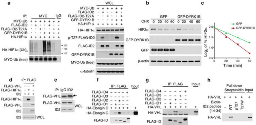 The DYRK1-ID2-T27 pathway modulates HIFα stability by regulating the interaction between ID2 and VHLa, In vivo ubiquitylation of HIF1α protein. U87 cells transfected with the expression plasmids HIF1α and MYC-ubiquitin were co-transfected with FLAG-ID2, FLAG-ID2-T27A, or the empty vector in the presence or in the absence of GFP-DYRK1B. After treatment with MG132 (20 μM) for 6 h, lysates were prepared in denaturing buffer and identical aliquots were immunoprecipitated with antibodies directed against MYC. An anti-HA antibody was used to detect HIF1α ubiquitin conjugates (left panels); Cellular lysates, WCL, were analyzed by western blot using the indicated antibodies (right panels). b, U87 cells were co-transfected with plasmids expressing HA-HIF2α and GFP-DYRK1B or GFP-vector. Cells were treated with 50 μg/ml of C HX for the indicated times and analyzed by western blot. c, Quantification of HIF2α protein from the experiment in panel b as the Log2 of the percentage of HIF2α relative to untreated cells. d, IMR32 cells were co-transfected with ID2 and FLAG-VHL or FLAG-HIF1α expressing vectors. Immunoprecipitation was performed using FLAG antibody and immunocomplexes and whole cell lysates were analyzed by western blot using the indicated antibodies. e, IMR32 cells transfected with FLAG-VHL expression vector were used for IgG or ID2 antibody immunoprecipitation. Immunocomplexes and WCL were analyzed by western blot. Arrow points to the specific FLAG-VHL band; asterisk indicates IgG light chain. f, FLAG immunoprecipitation of binding reactions of in vitro translated FLAG-ID and HA-Elongin C proteins. Immunocomplexes were analyzed by western blot for HA and FLAG. g, FLAG-ID proteins and HA-VHL were translated and incubated in vitro. FLAG immunocomplexes were analyzed by western blot for HA and FLAG. h, In vitro streptavidin pull down assay of biotinylated ID2 peptides (amino acid 14-34 WT, pT27, and T27W) and in vitro translated HA-VHL. Bound polypeptides were detected by western blot.