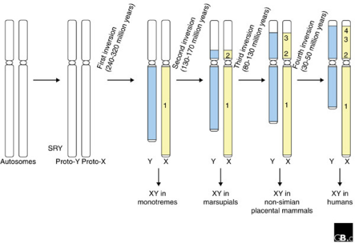 A proposed path for the evolution of the human sex chromosomes. Lahn and Page [6] postulate four inversions on the human Y chromosome, which suppressed recombination between the 'proto' sex chromosomes. Each inversion (designated 1-4) is thought to have reduced the size of the pseudoautosomal region (white) and enlarged the non-recombining portions of the X (yellow) and Y (blue) chromosomes. Time points at which the human X and Y may have diverged from the sex chromosomes of other mammals are indicated.