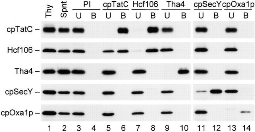Coimmunoprecipitation under nondenaturing conditions shows that cpTatC and Hcf106 are present in the same complex. Pea thylakoids (lane 1) were solubilized with 0.5% digitonin at 0.75 mg chlorophyll/ml. After centrifugation to remove insoluble materials, the resulting supernatant (lane 2) was incubated with protein A–Sepharose to which preimmune (lanes 3 and 4), anti-cpTatC (lanes 5 and 6), anti-Hcf106 (lanes 7 and 8), anti-Tha4 (lanes 9 and 10), anti-cpSecY (lanes 11 and 12), or anti-cpOxa1p (lanes 13 and 14) IgG had been cross-linked. After 1 h at 4°C, proteins unbound (lanes 3, 5, 7, 9, 11, and 13) and bound (lanes 4, 6, 8, 10, 12, and 14) to IgG protein A–Sepharose were analyzed by SDS-PAGE and immunoblotting. Proteins bound to IgG protein A–Sepharose were equivalent to 5 μg chlorophyll of starting thylakoids; all other samples were equivalent to 2.5 μg chlorophyll of starting thylakoids. Antibodies used for the immunoprecipitations are designated (top). Antibodies used for immunoblotting are designated (left).