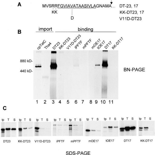 Precursor binding to the cpTatC–Hcf106 complex requires both the RR and the hydrophobic core of the signal peptide. In vitro translated proteins were incubated with thylakoids in binding assays. Recovered thylakoids were then analyzed by BN-PAGE and SDS-PAGE (Materials and methods). (A) The sequence of the DT signal peptide from the amino terminus to the thylakoidal processing protease cleavage site (arrow). The hydrophobic core is underlined. Mutations are shown as the substituted amino acids below the DT sequence and the resulting precursors designated as shown to the right. (B) Thylakoids from binding assays were solubilized with 1% digitonin, 20% glycerol, and import buffer and analyzed by BN-PAGE/fluorography. Chloroplast import of pcpTatC and pTha4 was conducted, and the recovered thylakoids were analyzed in adjacent lanes as markers for these components. The precursors used are designated (top). Each lane was loaded with sample equivalent to 8% of the assay, and gels were exposed to film for 7 d. (C) Aliquots of the translation products (tp) equivalent to 0.125% of that added to each assay, total solubilized thylakoids (T) equivalent to 3% of the assay, and 200,000 g supernatants (S; i.e., the BN-PAGE samples) equivalent to 3% of the assay were analyzed by SDS-PAGE and fluorography on identical gels in parallel, which were exposed to the same piece of film for 4 d. The precursors are designated (bottom).