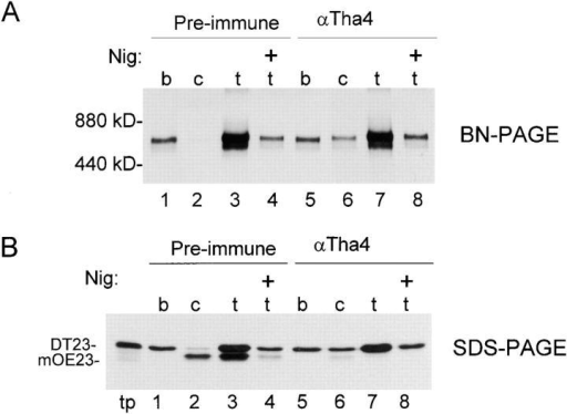 Precursors remain bound to the cpTatC–Hcf106 complex under transport conditions unless Tha4 is free to participate. Thylakoids were pretreated with 0.4 mg/ml of preimmune or anti-Tha4 IgGs, washed, and then incubated with in vitro–translated DT23 in a binding assay (b) or a binding and chase assay (c), or they were incubated with DT23 under transport conditions (t), i.e., 5 mM Mg-ATP, 5 mM dithiothreitol, ∼500 μg stromal protein, and light at 25°C for 20 min, in the absence or presence of 0.4 μM nigericin as shown (top). Chase and transport assays were diluted 4.5- and 10-fold, respectively, with import buffer before removal from light and 25°C. (A) Recovered thylakoids were solubilized in 1% digitonin, 20% glycerol, and import buffer and analyzed by BN-PAGE and fluorography. Each lane contains sample equivalent to 6% of the assay. The minor band migrating just below the ∼700-kD band is occasionally observed and presumably represents a breakdown product of the ∼700-kD complex. It appears enhanced in overexposed lanes (3 and 7) but is present in the other lanes and in immunoblots (Fig. 3). (B) Recovered thylakoids (A) were analyzed by SDS-PAGE and fluorography. Lanes contain sample equivalent to 5% of the assay. DT23 translation product, equivalent to 0.25% of that added to each assay, is shown in the lane marked tp. (Lanes 1 and 5) Binding assays; (lanes 2 and 6) chase assays; (lanes 3, 4, 7, and 8) transport assays.