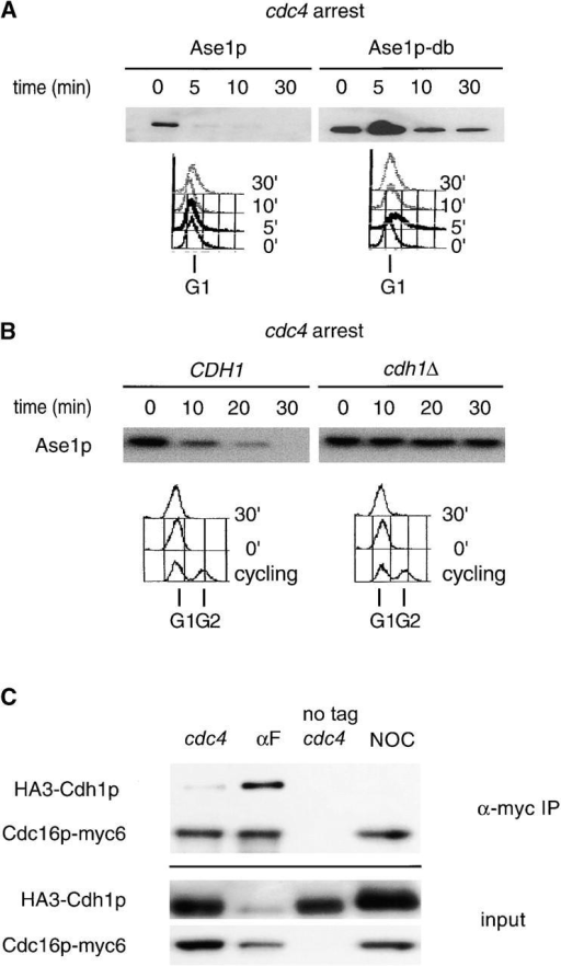 APCCdh1 is active in late G1. (A) cdc4 strains containing GAL1,10::ASE1 or GAL1,10::ASE1-DB (Juang et al., 1997) were arrested in yeast extract and peptone (YEP) raffinose at 36°C. Expression from the GAL1,10 promoter was induced for 60 min, and the half-life of Ase1p or Ase1p-db was determined. G1 arrest was confirmed by FACS®. (B) The half-life of Ase1p was determined in arrested cdc4 cdh1Δ clb6Δ and cdc4 CDH1 clb6Δ strains as above. The clb6Δ mutation was introduced into these strains to promote efficient arrest. cdc4 cdh1Δ double mutants arrest poorly in late G1, probably because of persistent low levels of B-type cyclins from the previous mitosis (unpublished data). (C) cdc4 strains containing an epitope-tagged APC/C subunit (Cdc16p-myc6), or the untagged control, and HA-tagged Cdh1p (HA3-Cdh1p) were arrested at 36°C, and APC/C was immunoprecipitated using a monoclonal antibody directed against the myc epitope. Extracts and immunoprecipitates were probed with 12CA5 to detect HA3-Cdh1p.