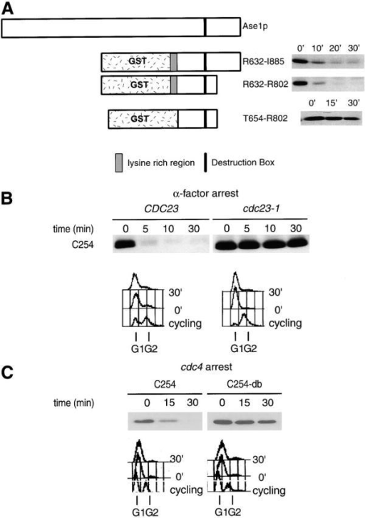 Ase1p domain sufficient for APCCdh1-mediated degradation. (A) Stability of Ase1p NH2-terminal truncations fused to GST in α-factor–arrested cells. Chimeras were expressed from the GALL promoter for 30 min in α-factor–arrested cells, and the half-lives of the chimeras were assayed. R632-I885 is the COOH-terminal 254 amino acids of Ase1p. (B) CDC23 and cdc23-1 strains containing GAL1,10::C254 were arrested with α-factor, shifted to 36°C for 30 min to inactivate Cdc23p, then galactose was added for 30 min to induce expression of C254, and the half-life of the chimera was determined. (C) cdc4 cells containing C254 or a db mutant of C254 (C254-db) were arrested at 36°C, and the half-lives of the fusion proteins were determined 30 min after the addition of galactose. (D) The half-life of C254 was determined in arrested cdc4 cdh1Δ clb6Δ and cdc4 CDH1 clb6Δ cells. (E) Cells constitutively expressing C254 (the GST–R632-I885 fusion protein) were prepared for immunofluorescence. No signal was detected in this strain grown under repressing conditions (glucose; data not shown). C254 is diffusely localized to the nucleus and appears to be at higher levels in mitotic cells.