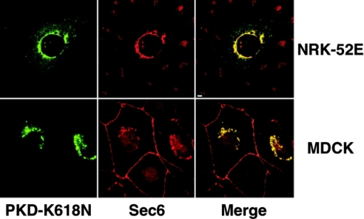 Immunofluorescent staining of Sec6 in cells following transient expression of PKD-K618N. NRK-52E and MDCK cells were transiently transfected with plasmid encoding GFP-PKD-K618N according to Materials and methods. MDCK cells were subsequently incubated at 19°C for 2 h. Cells were fixed, permeabilized, and stained for Sec6 (mAb 9H5). Bar, 5 μm.