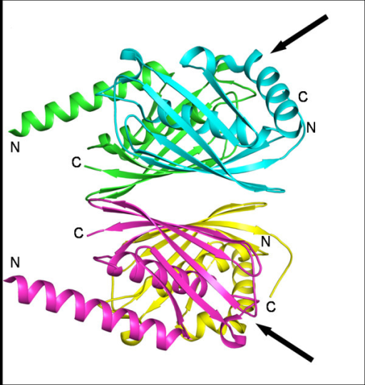 TB tetramer of E. coli PaaI. The kinked conformation of the N-terminal helices is indicated by arrows (PDB code: 2FS2).